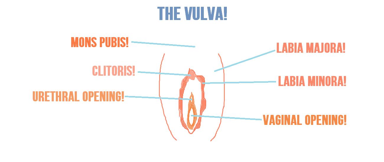 Outstanding Diagram Of Labia Motif Anatomy Ideas Yunokifo